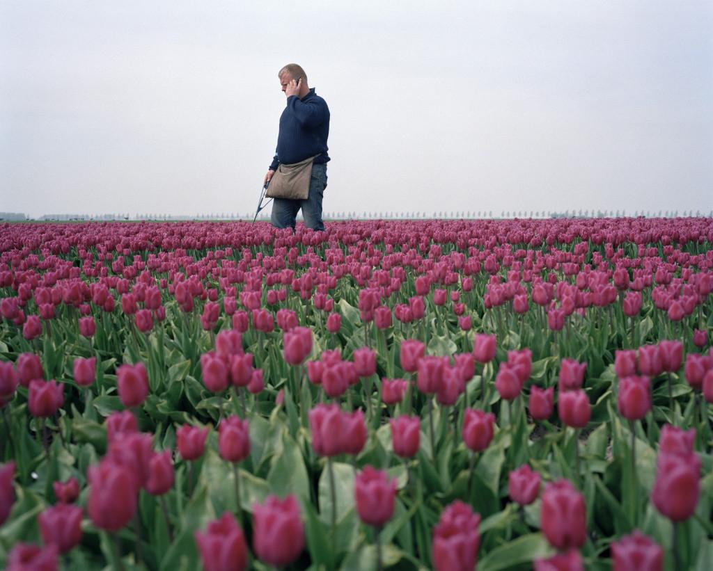 Tulpengoud tulips tulpen