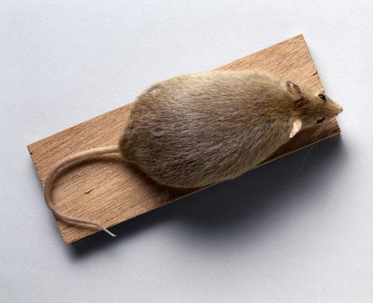 muis met obesitas1998